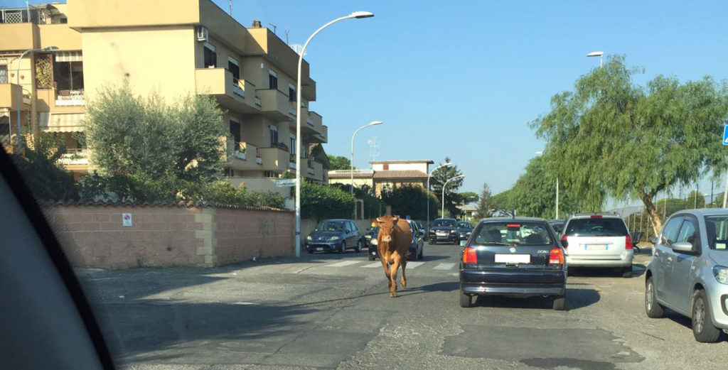 Santa Maria delle Mole: a spasso con le mucche
