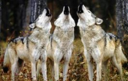Avvistati lupi ai Castelli Romani!