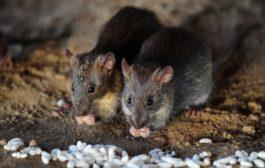 Pavona: topi di autunno