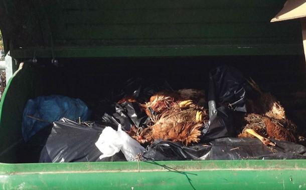Pavona: trovati polli morti nei cassonetti