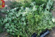 Marino, arrestato 60enne coltivava marijuana in giardino