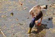 Castel Gandolfo: Lago Albano, vietato somministrare alimenti alle anatre selvatiche